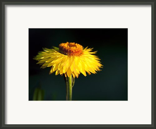 Sunset Daisy Framed Print By Vicki Jauron