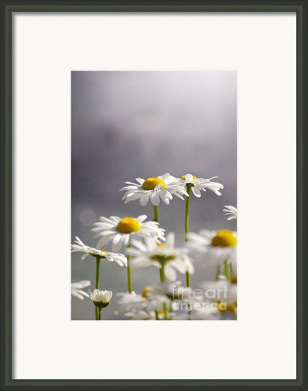 White Daisies Framed Print By Carlos Caetano