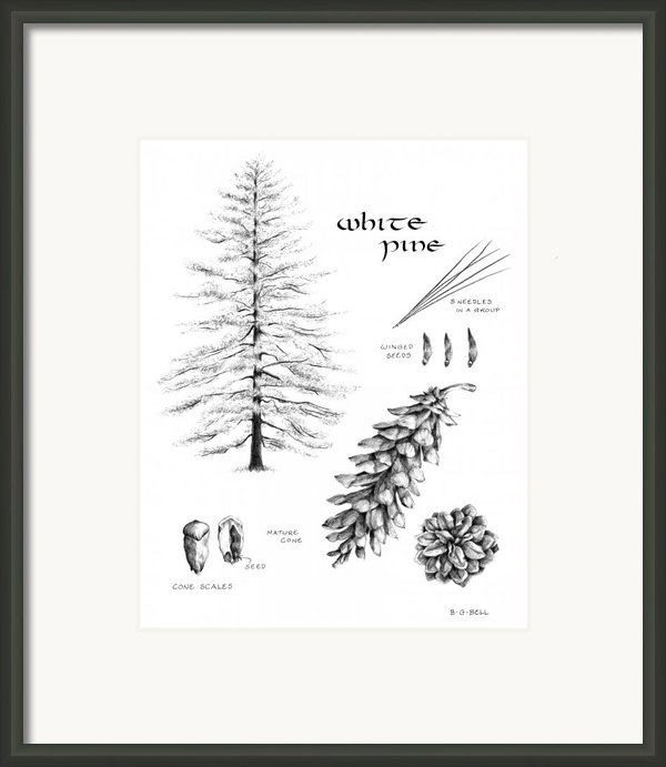 White Pine Study Book Page Framed Print By Betsy Gray