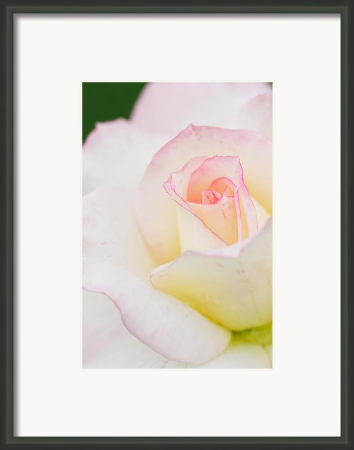White Rose With Pink Edge Framed Print By Atiketta Sangasaeng