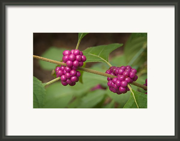 1109-6879 American Beautyberry Or French Mulberry Framed Print By Randy Forrester
