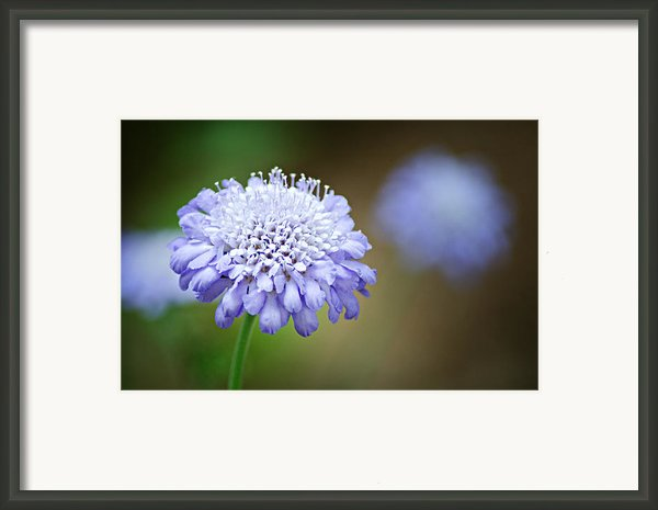 1205-8794 Butterfly Blue Pincushion Flower Framed Print By Randy Forrester