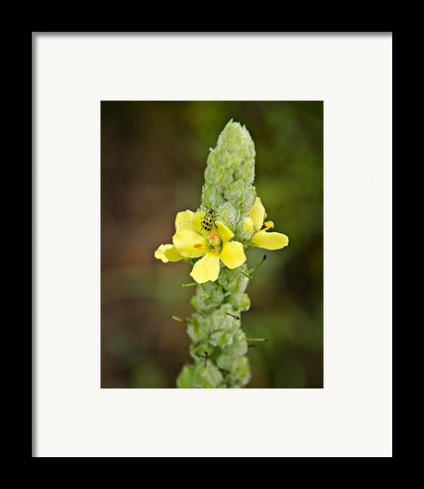 1209-1169 - Mullein Plant And Spotted Cucumber Beetle Framed Print By Randy Forrester