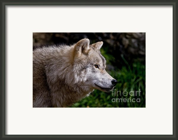 Arctic Wolf Portrait Framed Print By Michael Cummings