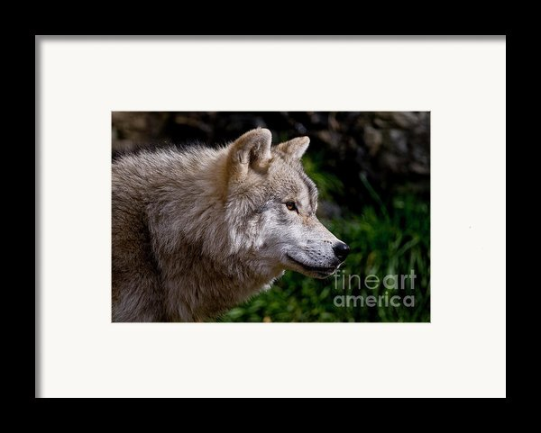 Arctic Wolf Portrait Framed Print By Michael Cummings