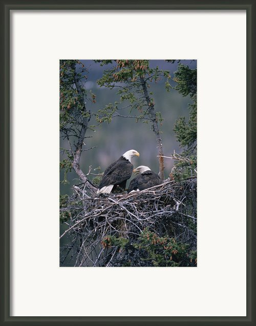 Bald Eagle Haliaeetus Leucocephalus Framed Print By Michael Quinton