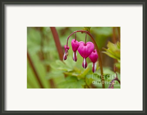 Bleeding Hearts Framed Print By Sean Griffin