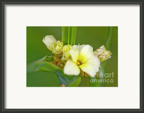 Blue-eyed Grass (sisyrinchium Striatum) Framed Print By Dr Keith Wheeler