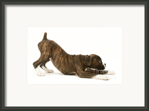 Brindle Boxer Pup Framed Print By Jane Burton