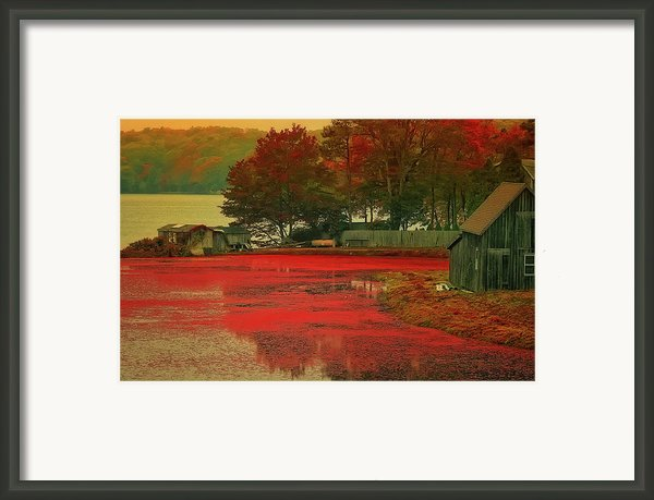 Cranberry Farm Framed Print By Gina Cormier