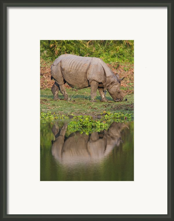 Indian Rhinoceros Rhinoceros Unicornis Framed Print By Theo Allofs