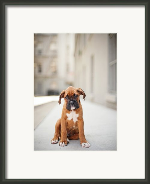 2 Month Old Boxer Puppy Standing In Alley Framed Print By Diyosa Carter