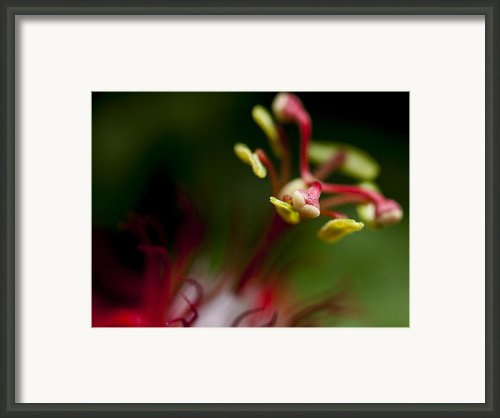 Passiflora Flower Framed Print By Zoe Ferrie