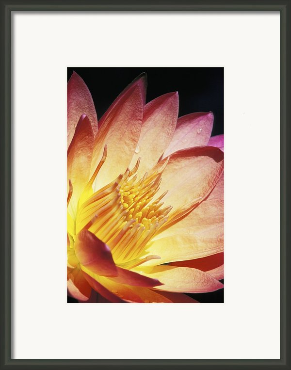 Pink Water Lily Framed Print By Bill Brennan - Printscapes