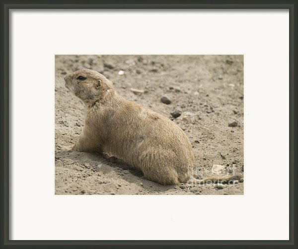 Prairie Dog Framed Print By Odon Czintos