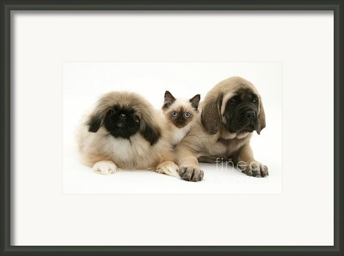 Puppies And Kitten Framed Print By Jane Burton