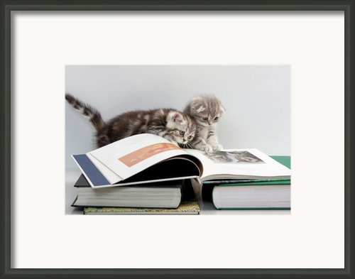 Scottish Fold Cats Framed Print By Evgeniy Lankin
