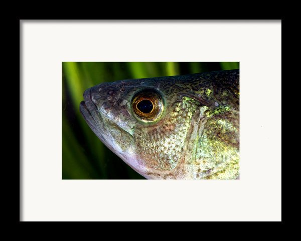 Yellow Perch Perca Flavescens Framed Print By Ted Kinsman