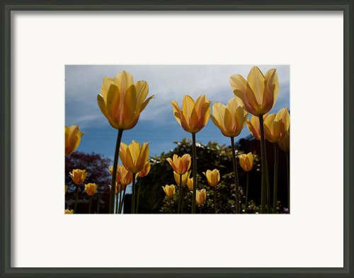 2012 Tulips 06 Framed Print By Torkomian Photography