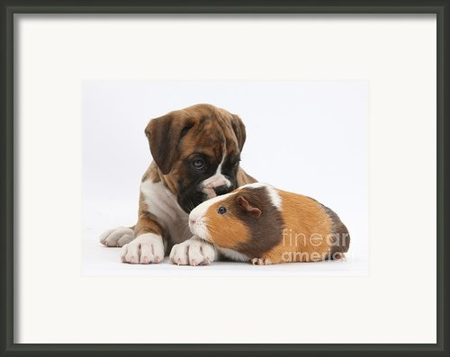 Boxer Puppy And Guinea Pig Framed Print By Mark Taylor