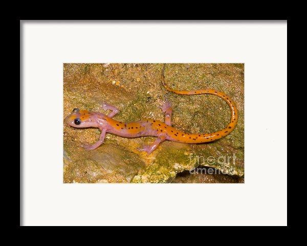 Cave Salamander Framed Print By Dante Fenolio