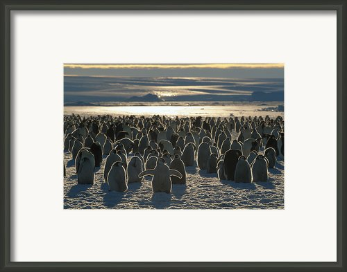 Emperor Penguin Aptenodytes Forsteri Framed Print By Pete Oxford