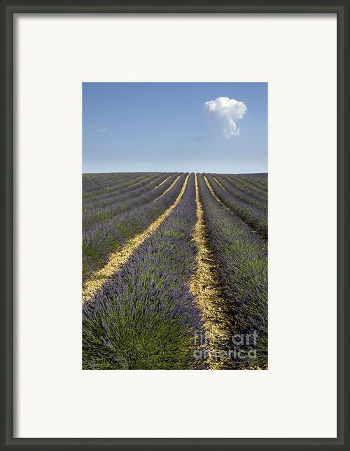 Field Of Lavender. Provence Framed Print By Bernard Jaubert