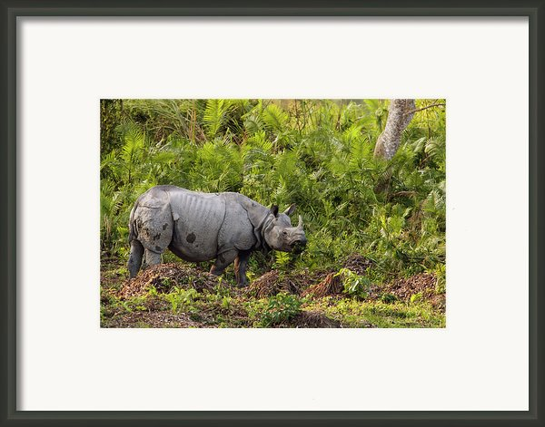 Indian Rhinoceros Rhinoceros Unicornis Framed Print By Theo Allofs