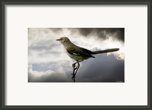 Mockingbird Framed Print By Brian Wallace