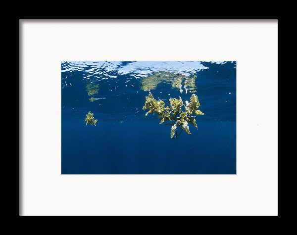 Tropical Seaweed Framed Print By Alexis Rosenfeld