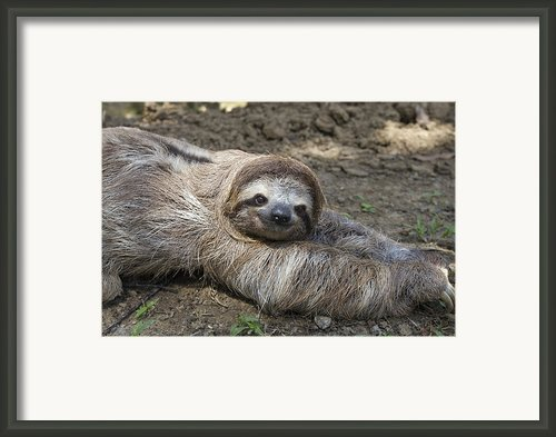 Brown-throated Three-toed Sloth Framed Print By Suzi Eszterhas