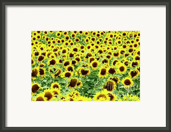 Field Of Sunflowers Framed Print By Bernard Jaubert