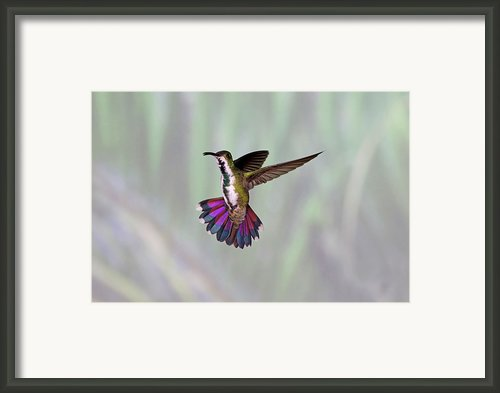 Hummingbird Framed Print By David Tipling