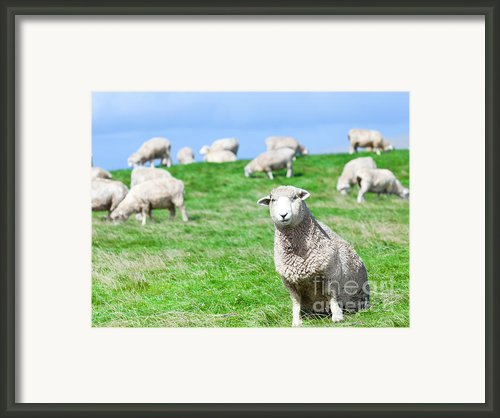 Sheeps Framed Print By Mothaibaphoto Prints