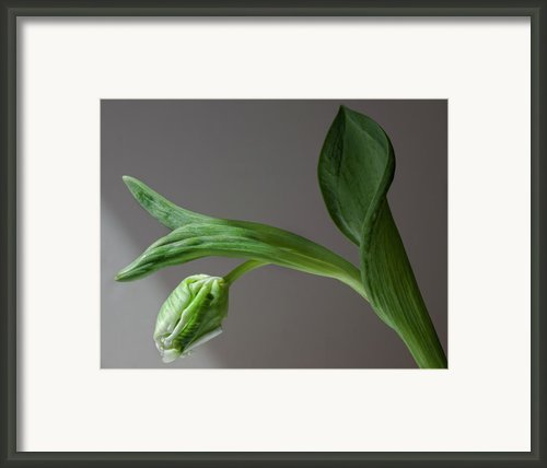White Tulip Framed Print By Robert Ullmann