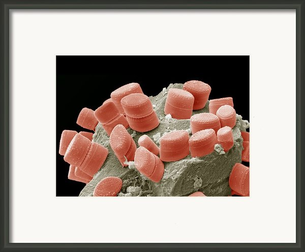 Diatoms, Sem Framed Print By Steve Gschmeissner