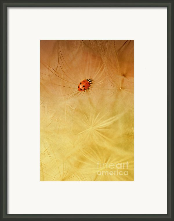 Dandelions Framed Print By Iris Greenwell