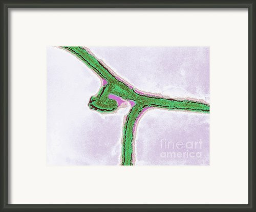 Marburg Virus, Tem Framed Print By Science Source