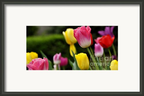 Tulip Garden University Of Pittsburgh  Framed Print By Thomas R Fletcher