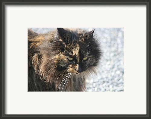 Cat Portrait Framed Print By Valia Bradshaw