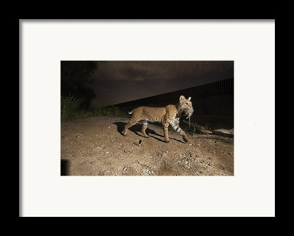 A Bobcat Crosses A Rio Grande Border Framed Print By Joel Sartore