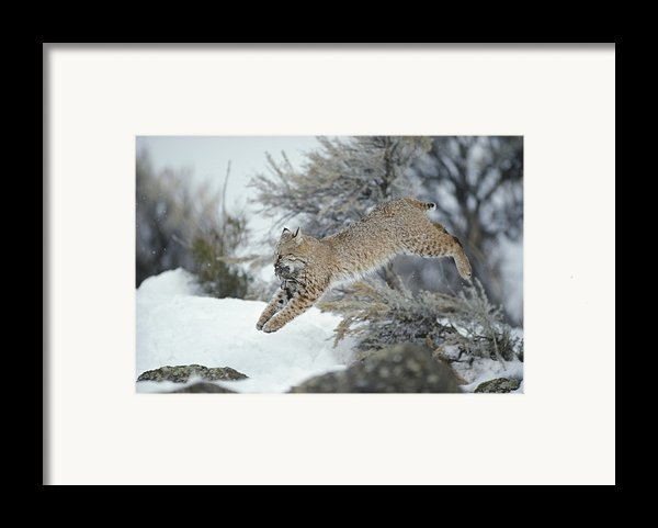 A Bobcat Leaps With A Horned Lark Framed Print By Michael S. Quinton