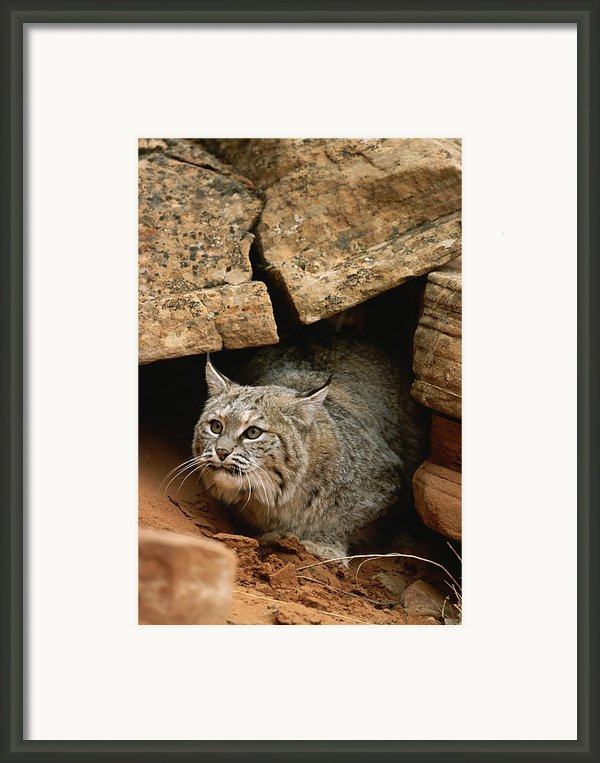 A Bobcat Pokes Out From Its Alcove Framed Print By Norbert Rosing