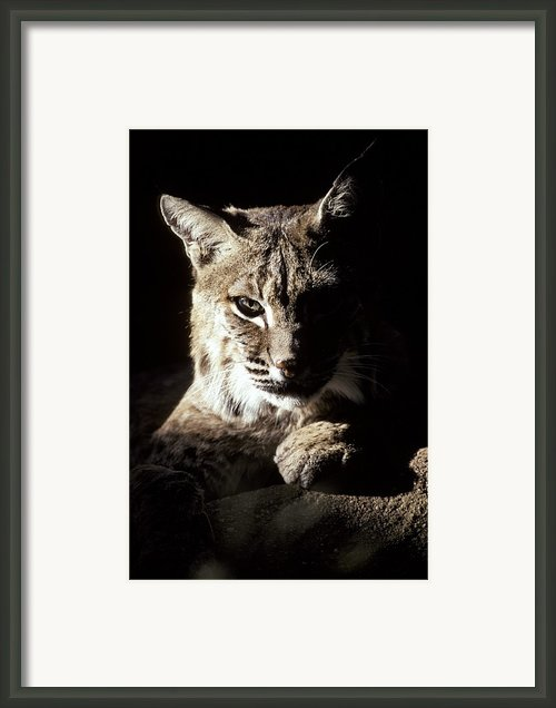 A Bobcat Sitting In A Ray Of Sun Framed Print By Jason Edwards