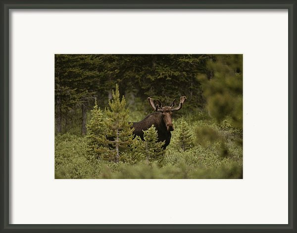 A Bull Moose Stops For A Photograph Framed Print By Raymond Gehman