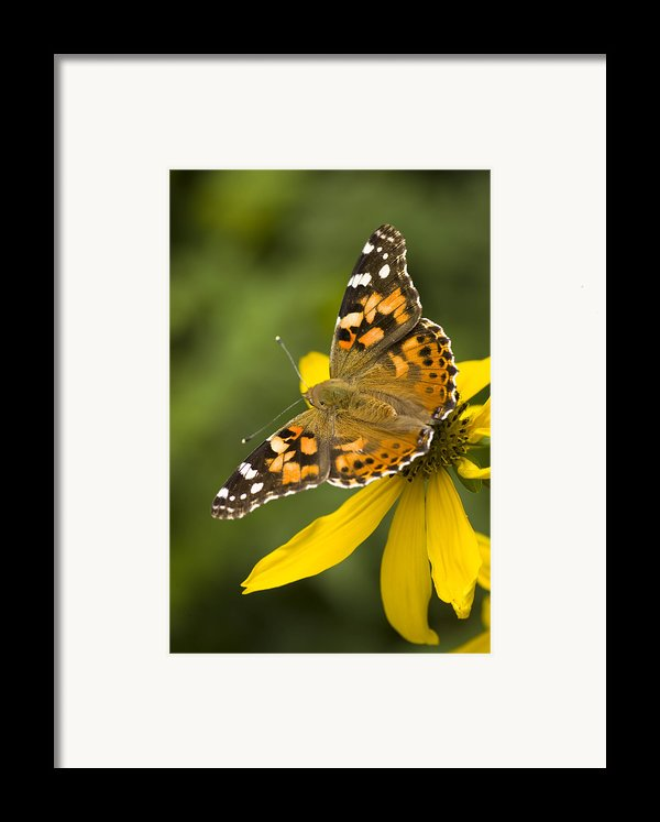 A Butterfly Sits Atop A Yellow Framed Print By Ralph Lee Hopkins