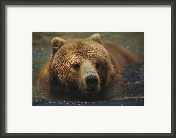A Close View Of A Captive Kodiak Bear Framed Print By Tim Laman