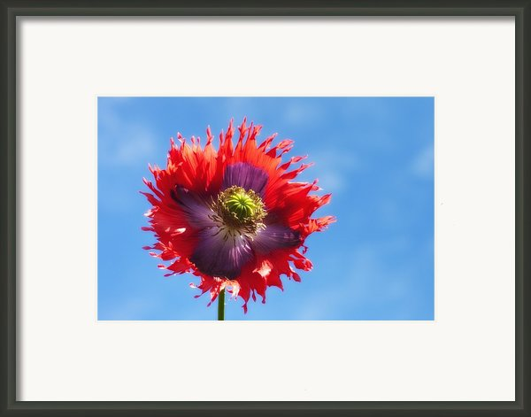 A Colorful Flower With Red And Purple Framed Print By John Short