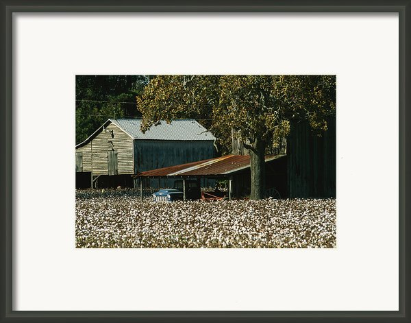 A Cotton Field Surrounds A Small Farm Framed Print By Medford Taylor