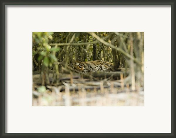 A Female Tiger Rests In The Undergrowth Framed Print By Tim Laman